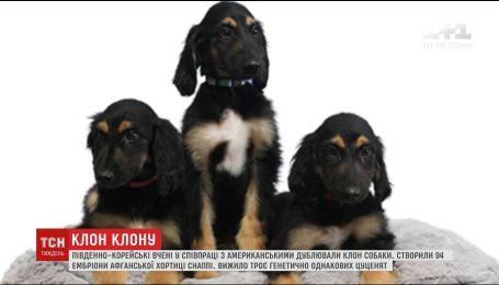 Юго-Корейские ученые в сотрудничестве с американцами дублировали клон собаки