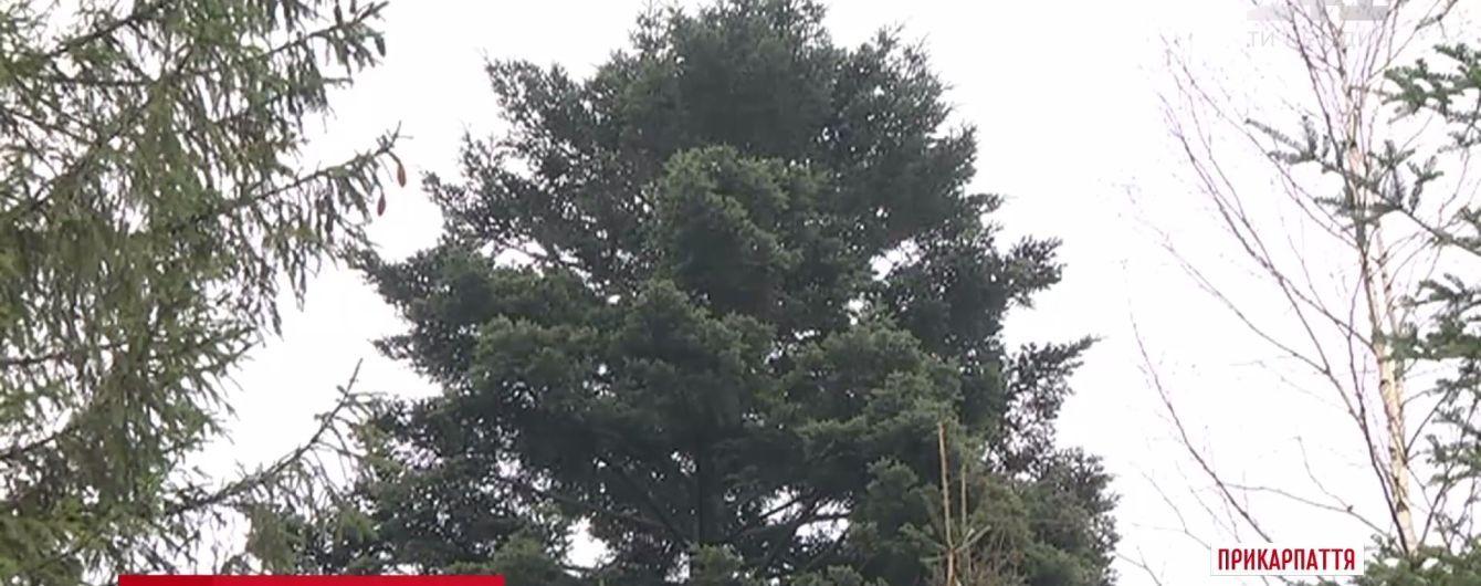 Главную елку Украины срубят в Богородчанском лесхозе на Ивано-Франковщине