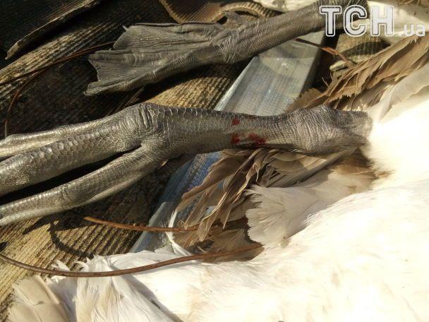 На Сумщине неизвестные жестоко расстреляли лебедей на озере