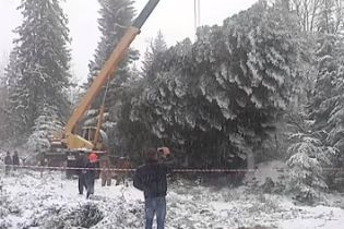 На Прикарпатье почти пять часов рубили главную новогоднюю елку Украины