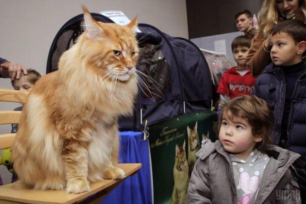 Вес почти 12 килограммов и длина почти 1,5 метра: крупнейшего кота Украины внесли в книгу рекордов