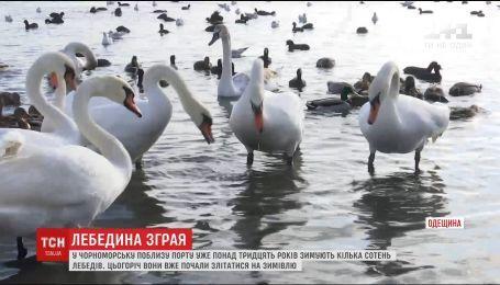 На паромную переправу Чорноморска начали слетаться лебеди, которые зимуют там десятки лет