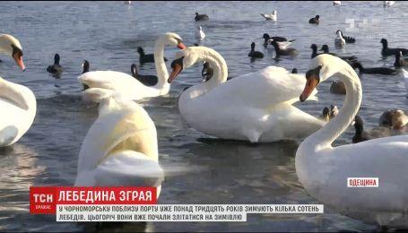 Птичья бухта: на паромную переправу под Одессой начали слетаться лебеди