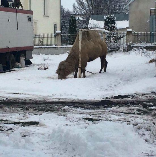 Одинокий верблюд в снегах Тернопольщины взорвал соцсети