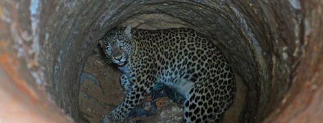 В Индии лесники освободили леопарда, который упал в колодец