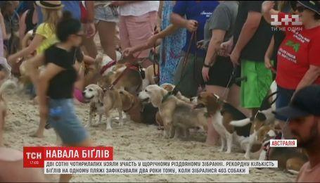 """Сотни собак """"биґль"""" приняли участие в ежегодной рождественской вечеринке в Австралии"""