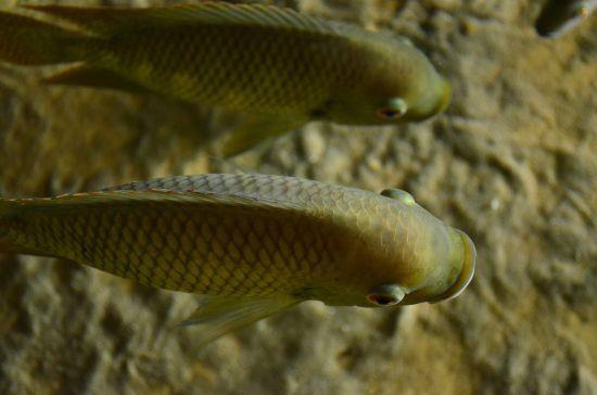 Пристрасний нерест: деякі рибки спаровуються так гучно, що оглушують дельфінів