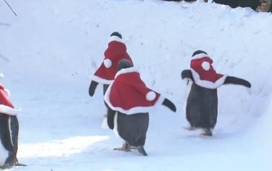 У китайському зоопарку пінгвінів переодягли у Санта-Клаусів