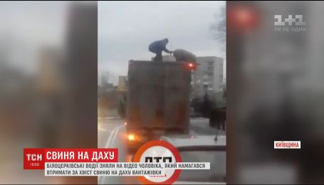 В Интернете хитом стало видео, на котором мужчина пытается удержать свинью на крыше грузовика