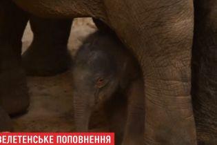 В бельгийском зоопарке под объективом видеокамер родился слоненок