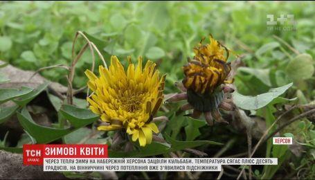 У Херсоні та Вінниці просто перед Новим роком зацвіли весняні квіти