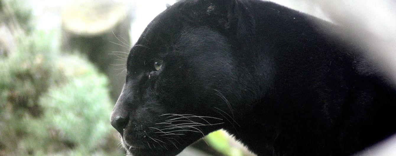 В России пантера насмерть загрызла украинца - СМИ