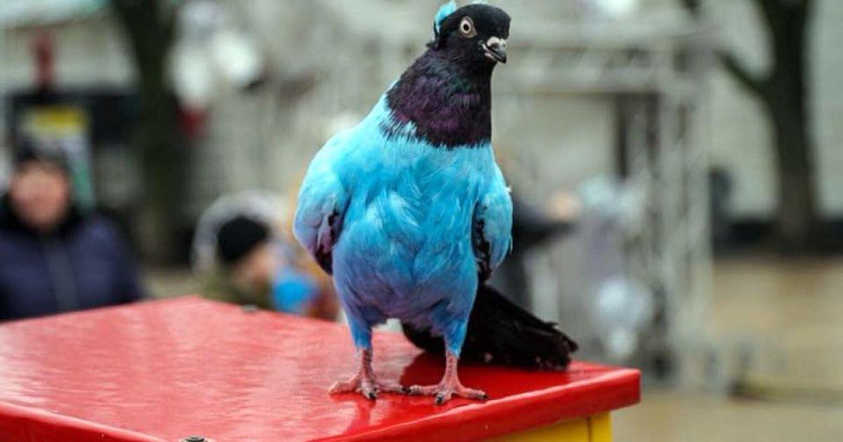 В центре Киева на Софийской площади появилось новое развлечение  предлагают  сфотографироваться с раскрашенными в разные цвета голубями. 45830c93f4ee9
