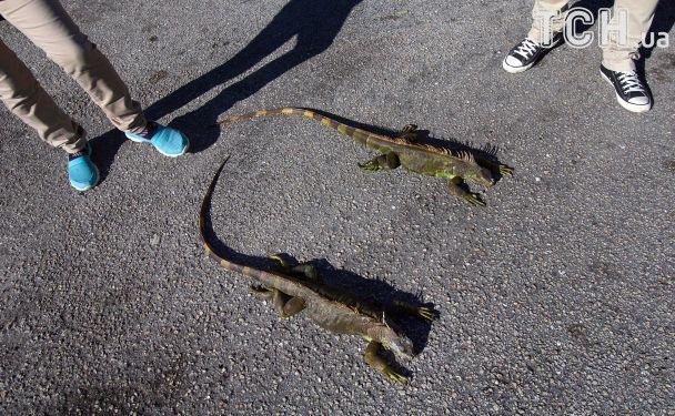 Игуаноапокалипсис: из-за экстремальных холодов во Флориде замерзшие рептилии падают с деревьев