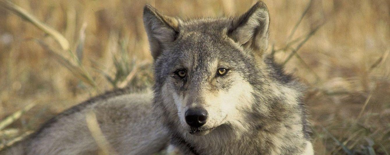 На Черниговщине волчица напала на село, пострадали люди