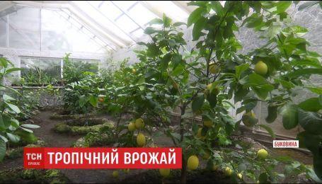 В буковинской теплице черновчанин создал тропический сад