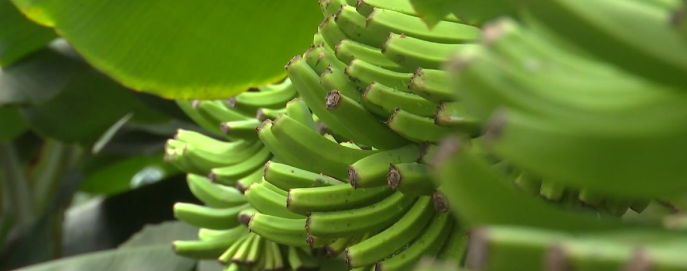 У Чернівцях колишній столяр виростив унікальний тропічний сад з екзотичними фруктами