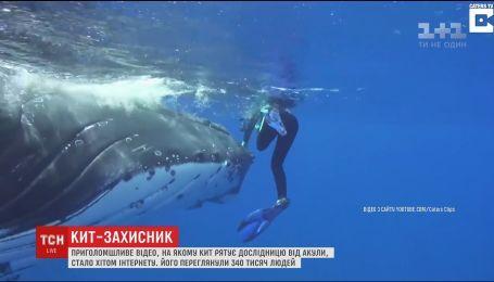 В Сети набирает популярность видео, на котором кит защищает исследовательницу от акулы
