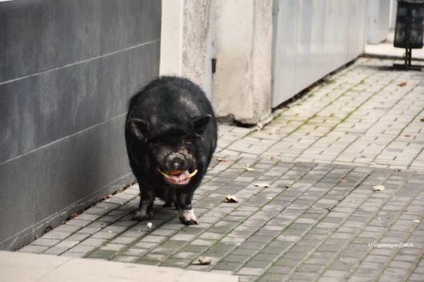 В центре Донецка по улице бегала свинья, сбежавшая из бара