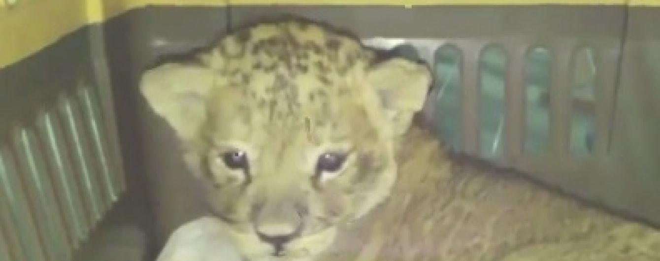 Львицу, которую бывший владелец накачивал наркотиками, конфисковали и передали в Одесский зоопарк