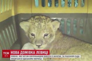 Левицю, яку колишній господар накачував наркотиками, конфіскували і передали до Одеського зоопарку