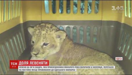 Львенок Сандра с горьким прошлым переехал на постоянное место жительства в одесский зверинец