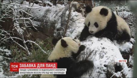 Зимняя игра: пандочки с венского зоопарка поборолись на заснеженной поляне