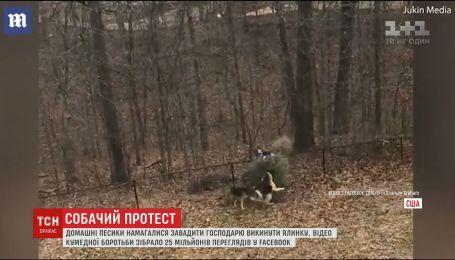В Сети набирает популярность видео, как собаки не давали хозяину выбросить ель
