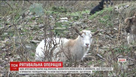 В Днепре одичалые козы после смерти хозяина поселились с собаками в сквере