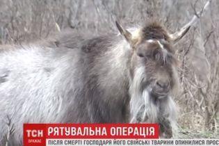 У Дніпрі після смерті господаря кози збилися у зграю із собаками та котом і оселилися у сквері