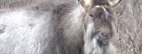 В Днепре после смерти хозяина козы сбились в стаю с собаками и котом и поселились в сквере