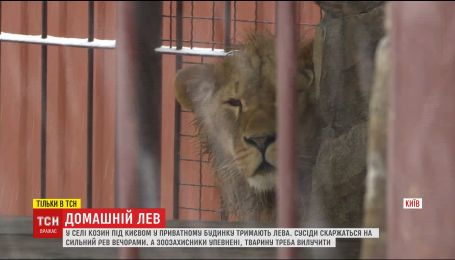 У селі Козин під Києвом на приватному подвір'ї у жахливих умовах тримають лева