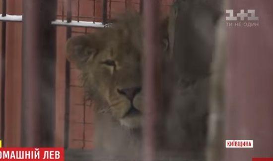 У селі під Києвом у приватному подвір'ї у жахливих умовах тримають лева