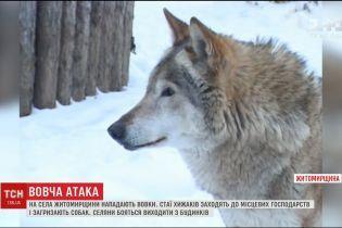 На Житомирщині селяни страждають від зграй вовків
