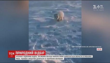 Сеть подорвало видео, на котором песец пытается украсть улов рыбака