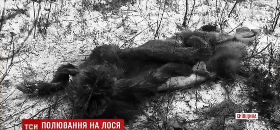 Під Києвом зухвало застрелили і просто серед лісу розробили тушу вагітної лосихи