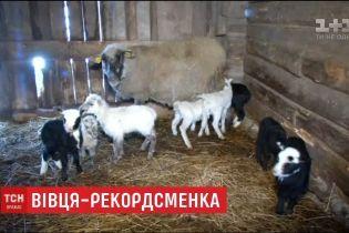 Литовская овца Маргоша родила сразу восьмерых ягнят