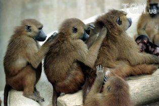 В Париже срочно эвакуировали посетителей зоопарка из-за побега бабуинов
