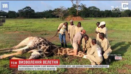 В частном заповеднике Конго удалось спасти жирафа, который намотал на шею провод