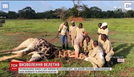 Визволяти жирафа з металевих тенет довелося команді рятувальників у заповіднику Конго