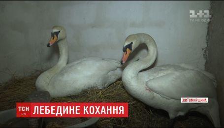 Подружжя пенсіонерів врятувало пару лебедів від неминучої смерті на озері