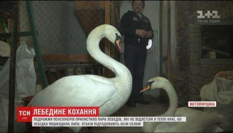 Пенсіонери прихистили пару лебедів, які не відлетіли у теплі краї через пошкоджену лапку лебідки