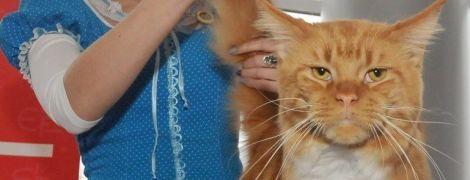 Суровые мейн-куны и экзотические бенгалы. В Харькове прошла выставка кошек