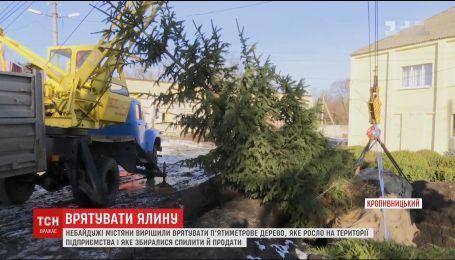 Небайдужі жителі Кропивницького врятували 5-метрову ялину від зрубу