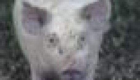 Курорт для свинок у спеку