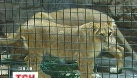 Київський зоопарк купив собі африканських левенят