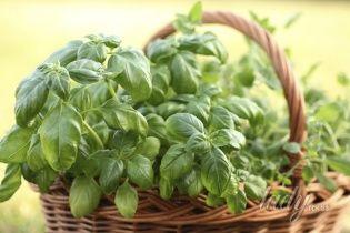 Базилик - трава от старости, стресса и бесплодия