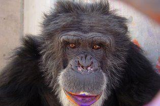 Человечество подхватило генитальный герпес у шимпанзе