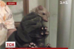 """На Одещині """"туалетна"""" куниця тричі втікала від рятувальників"""