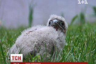 У Дніпропетровську врятували життя пташеняті сокола і повернули його у гніздо